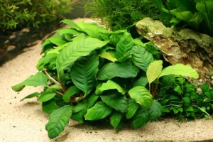<b>Anubias barteri ''coffeefolia''</b>