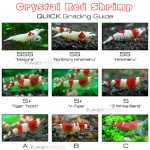 grading / rating / kelas crystal red shrimp alias red bee