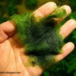 cladophora-algae-belajar-aquascape-aquajaya