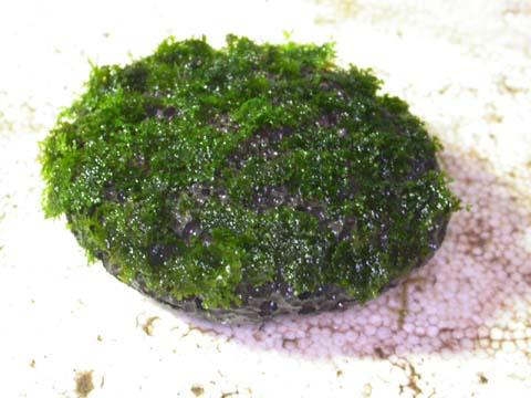 Jangan Lupa Untuk Menyemprot Moss Saat Mengikat Biar Gak Jadi Kering