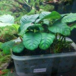 Pupuk Dasar Organik Green Aquascape