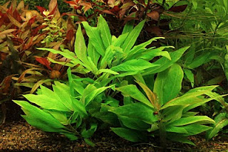<b>Hygrophila corymbosa ''Compact''</b>