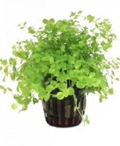 micranthemum-umbrosum-221-p