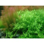 <b>Rotala sp Green</b>