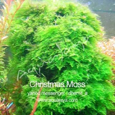 christmas-moss