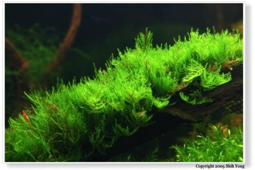 Cara Menanam Moss, Riccardia atau Fissiden