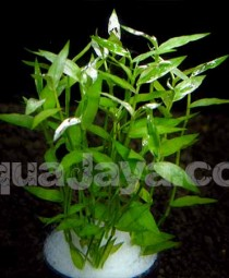 Sphaerocaryum malaccense - Arthraxon sp 1
