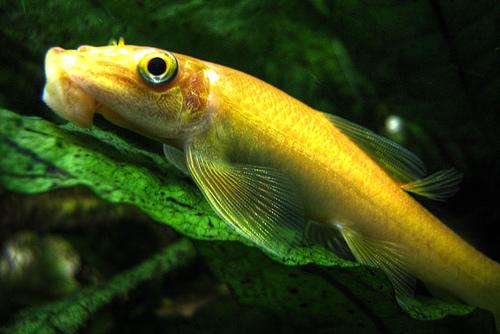 Algae chinese algae eater (CAE) - Aquajaya