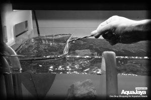 129167709500754217799432896998007215186091o-cara-membuat-aquascape-style-iwagumi-iwagumi-membuat-aquascape-aquajaya
