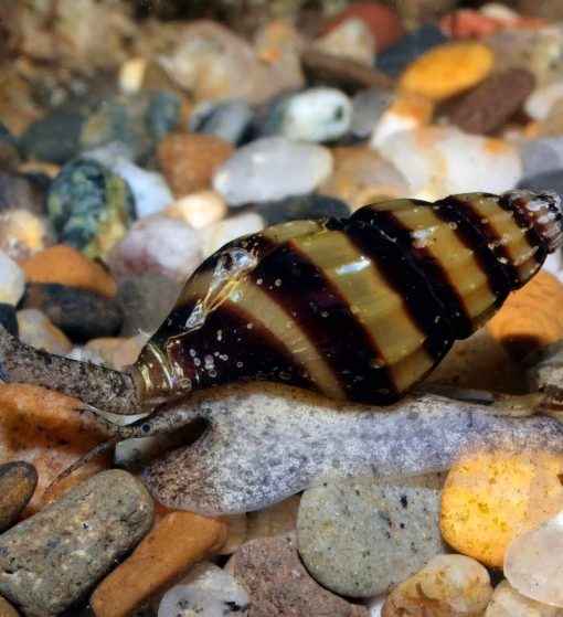 1assasin-snail-cruising-5000