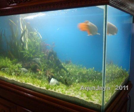 Saitama 2011 Arowana – AJHQ