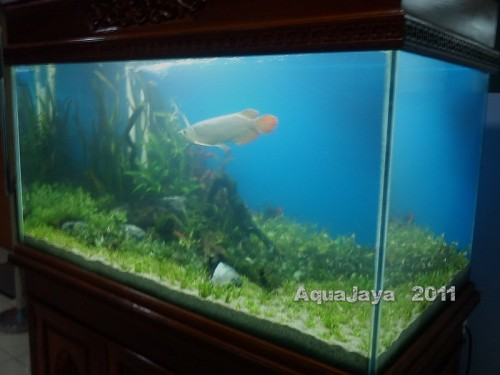saitama-2011-arowana-8211-ajhq-portfolio-aquajaya-aquajaya