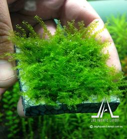 rose moss 03