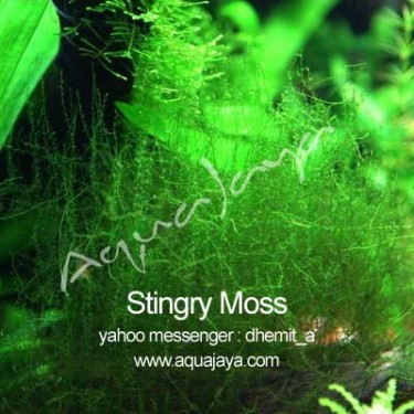 stingry-moss