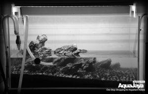 12916773950075788446573150702546556753982o-cara-membuat-aquascape-style-iwagumi-iwagumi-membuat-aquascape-aquajaya