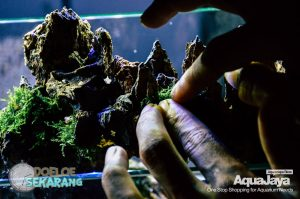 cara-membuat-aquascape-06-cara-membuat-aquascape--step-by-step-membuat-aquascape-aquajaya