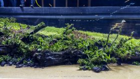 florestas-submersas-02-florestas-submersas--40-meter-nature-aquarium-aquascape-raksasa-aquajaya