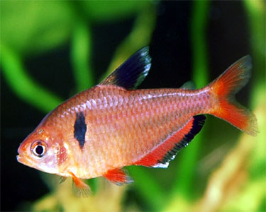 red_minor_tetra
